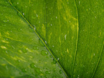 Part of a wet green leaf isolated over white Royalty Free Stock Photography