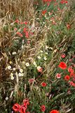 Part of the wheat fields with poppies and daisies Royalty Free Stock Photos