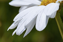 Part of a white daisy head close-up on a blurred background Royalty Free Stock Images