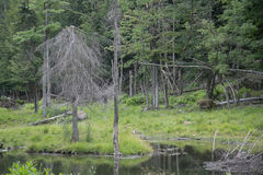 Part of wild forest in Canada. Part of forest in Canada, Quebec. Small lake, dry trees and gren trees Stock Photo