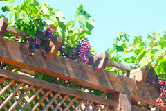Part wood pergola with ripe vines Royalty Free Stock Photography