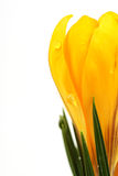 Part of yellow blossom of spring flowers crocuses on white background with place for text Royalty Free Stock Image