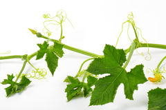 Part of zucchini plant. Stem of the zucchini plant with leaves and tendrils stock images