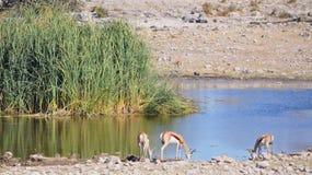 Partager un abreuvoir en Namibie Afrique Images stock