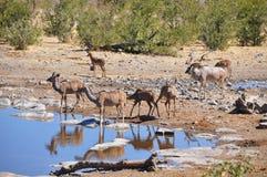 Partager un abreuvoir en Namibie Afrique Image stock