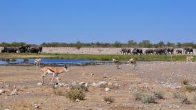 Partager un abreuvoir en Namibie Afrique Photos libres de droits