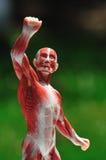 Parte anteriore dell'uomo del muscolo Immagine Stock