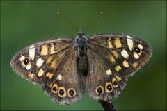 Farfalla arancio grigia su un ramo marrone Fotografia Stock Libera da Diritti