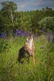 Parte anteriore di urla dei latrans del canis del coyote Fotografia Stock
