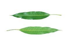 parte anteriore e parte posteriore delle foglie verdi del mango isolate su bianco Fotografie Stock