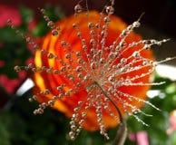 Parte da semente do dente-de-leão com gotas da água em um fundo colorido fotografia de stock royalty free