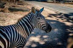 Parte da zebra Imagem de Stock