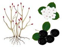 Parte das plantas do melanocarpa de Aronia do chokeberry do preto, isolada no branco Foto de Stock