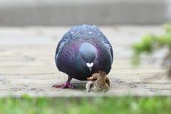 Parte de disputa do pão do pombo com pardal Fotografia de Stock Royalty Free
