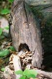 Parte de madeira do log nas máscaras da floresta de cores marrons e escuras Imagem de Stock