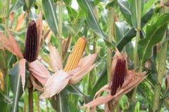 Parte de plantas de maíz Foto de archivo libre de regalías