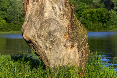 Parte de um tronco de árvore sob a forma de uma figura Fotografia de Stock
