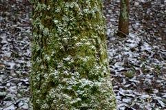 Parte de un árbol con nieve en el bosque del invierno Imágenes de archivo libres de regalías