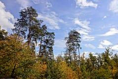 Parte de un bosque del pino y de árboles de hojas caducas amarillos contra el cielo Foto de archivo