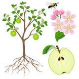 Parte de una planta del manzano en un fondo blanco Imagen de archivo libre de regalías