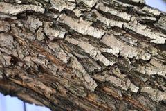 Parte del abedul doblado, corteza de abedul de un árbol viejo Fotos de archivo libres de regalías