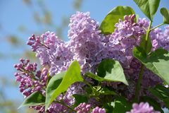 Parte del arbusto de lila en el fondo del cielo azul Fotografía de archivo