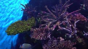 Parte del arrecife de coral en paisaje marino tropical con el angelote colorido metrajes