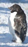Parte del pinguino moulting del Adelie. Fotografia Stock Libera da Diritti
