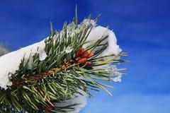 Parte del árbol de abeto en invierno Foto de archivo libre de regalías