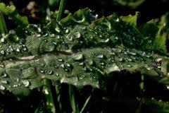 Parte della foglia del papavero (papaver somniferum) con le gocce di acqua Immagini Stock