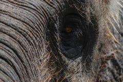 Parte della testa dell'elefante di Sumatra con l'occhio enorme fotografia stock libera da diritti