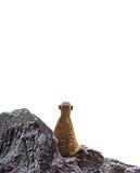 Parte di Meerkat che considera fondo bianco Immagini Stock