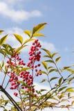 Parte di Nandina Domestica dell'arbusto con il fondo del cielo blu fotografia stock
