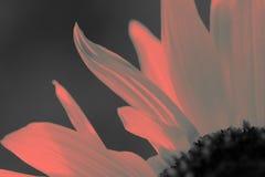 Parte di singolo girasole strutturato a colori di corallo vivente fotografie stock