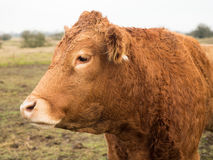 Parte di sinistra del ritratto della mucca di Brown Immagine Stock