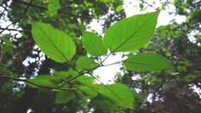 Parte di sotto delle foglie Vien Foglie verdi in foresta a Sunny Day stock footage