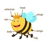 Parte di vocabolario dell'ape del corpo Vettore illustrazione di stock