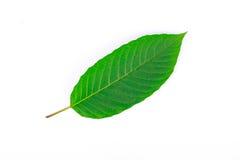 A parte dianteira da folha de Kratom (speciosa de Mitragyna), uma planta da família mais louca usada como uma droga habitforming Imagem de Stock