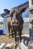 Parte dianteira da vaca de Brown sobre Fotos de Stock