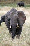 Parte dianteira do elefante Imagens de Stock Royalty Free