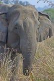 Parte dianteira do elefante Fotografia de Stock