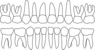 Parte dianteira dos dentes preliminares do vetor ilustração do vetor