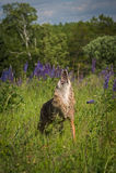 Parte dianteira dos uivos dos latrans do Canis do chacal Fotografia de Stock