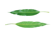 parte dianteira e parte traseira das folhas verdes da manga isoladas no branco Fotos de Stock
