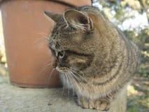 Parte externa de descanso do gato cinzento de Eurtopean fotografia de stock royalty free