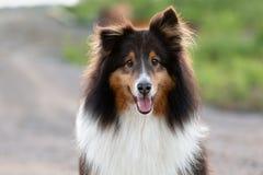 Parte externa do cão pastor de Shetland no verão no por do sol foto de stock royalty free