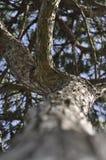 Parte inferior da perspectiva do pinheiro acima Fotografia de Stock Royalty Free