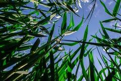 Parte inferior de la planta para subir la visión: troncos y hojas de lámina verdes debajo del cielo azul foto de archivo libre de regalías