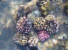 Parte inferior de mar cor-de-rosa e amarela do recife de corais e da areia Fauna exótica do mar tropical Imagem de Stock Royalty Free