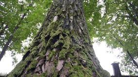 Parte inferior musgoso da árvore filme